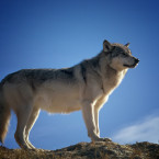 wolf 142173 1920
